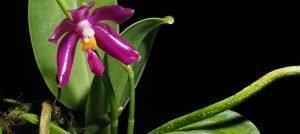 Hooray! Phalaenopsis pulchra is flowering today!