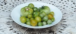What to do with your tomatoes in September & how to ripen unripe tomatoes!