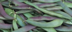 Compost Trial: Growing Dwarf French Beans