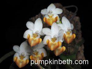 An Update on the Phalaenopsis Orchids growing inside my Orchidarium (part five)