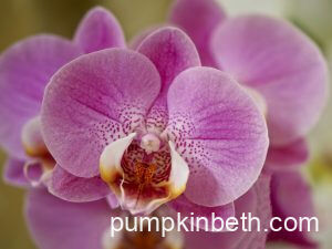 Grow Phalaenopsis hybrids & enjoy an easier life, surrounded by flowers!
