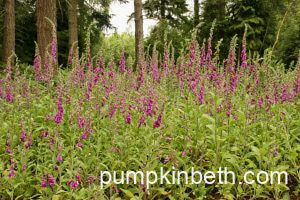 Foxgloves: fabulous plants for both bees & gardeners!