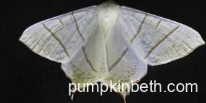 What moths could you discover during Moth Night 2021?