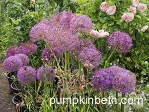 Alliums: Spectacular Summer Flowering Bulbs!